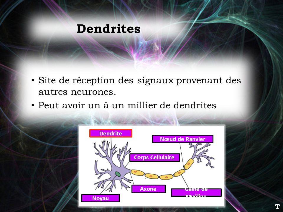Dendrites Site de réception des signaux provenant des autres neurones. Peut avoir un à un millier de dendrites Dendrite Corps Cellulaire Noyau Axone G