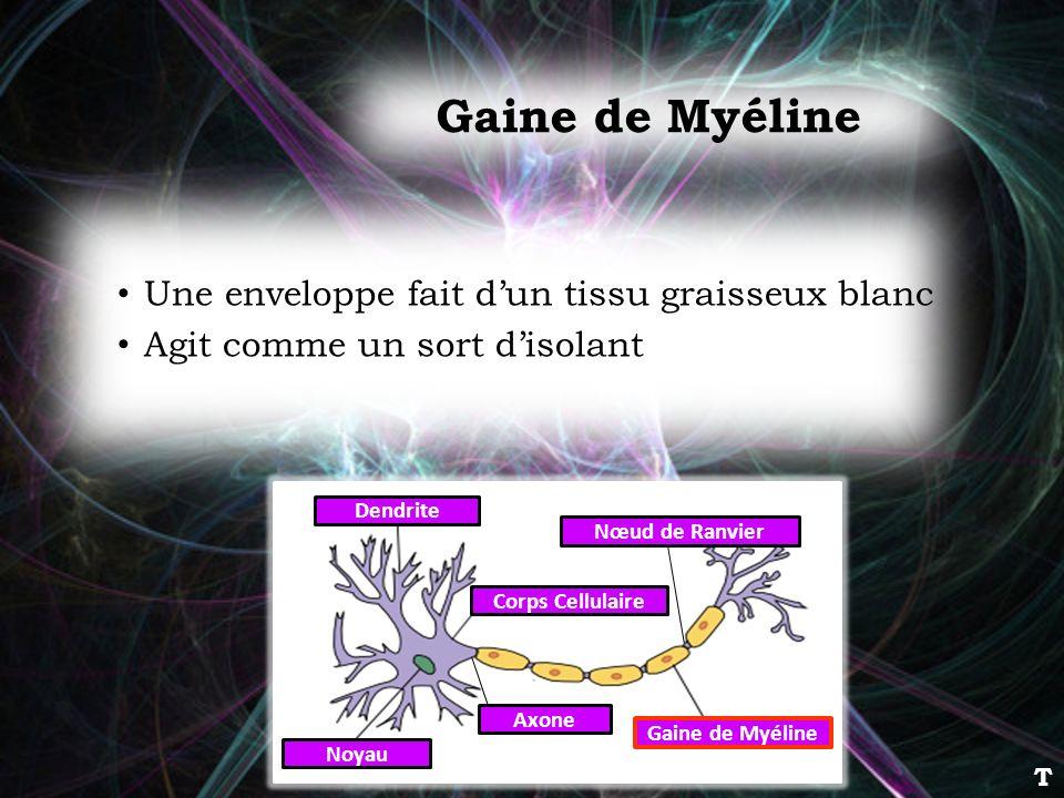 Gaine de Myéline Une enveloppe fait dun tissu graisseux blanc Agit comme un sort disolant Dendrite Corps Cellulaire Noyau Axone Gaine de Myéline Nœud