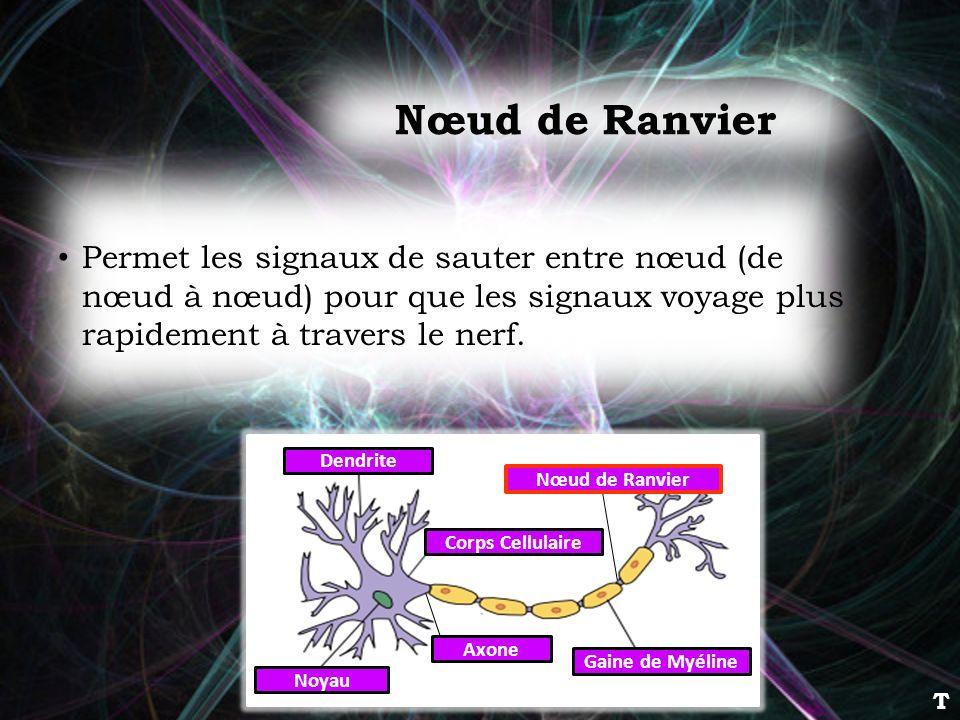 Permet les signaux de sauter entre nœud (de nœud à nœud) pour que les signaux voyage plus rapidement à travers le nerf. Dendrite Corps Cellulaire Noya
