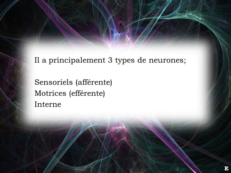 E Il a principalement 3 types de neurones; Sensoriels (afférente) Motrices (efférente) Interne