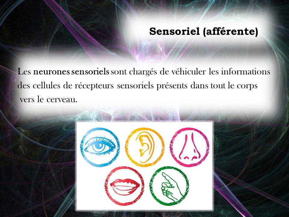 Sensoriel (afférente) Les neurones sensoriels sont chargés de véhiculer les informations des cellules de récepteurs sensoriels présents dans tout le c