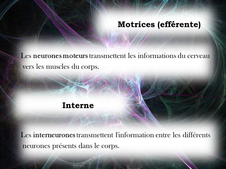 Motrices (efférente) Les neurones moteurs transmettent les informations du cerveau vers les muscles du corps. Interne Les interneurones transmettent l