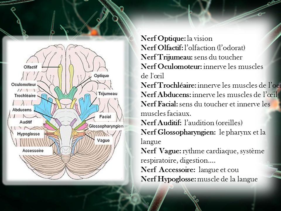 Nerf Optique: la vision Nerf Olfactif: lolfaction (lodorat) Nerf Trijumeau: sens du toucher Nerf Oculomoteur: innerve les muscles de l'œil Nerf Trochl