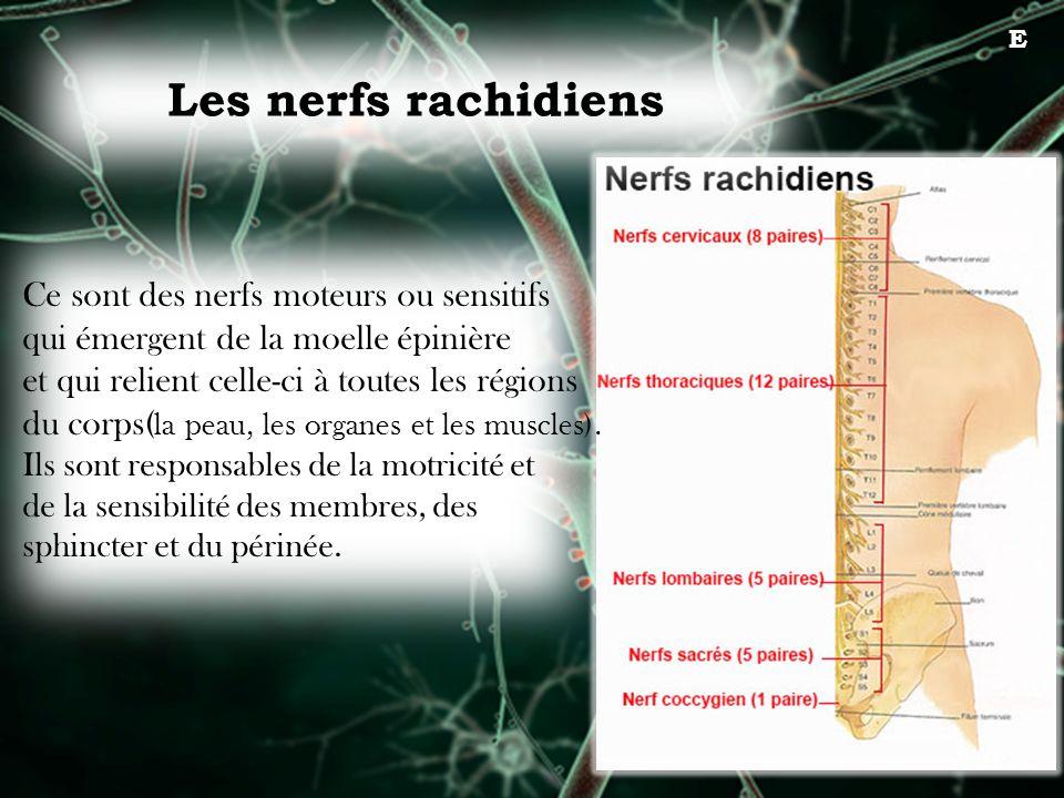 Les nerfs rachidiens E Ce sont des nerfs moteurs ou sensitifs qui émergent de la moelle épinière et qui relient celle-ci à toutes les régions du corps