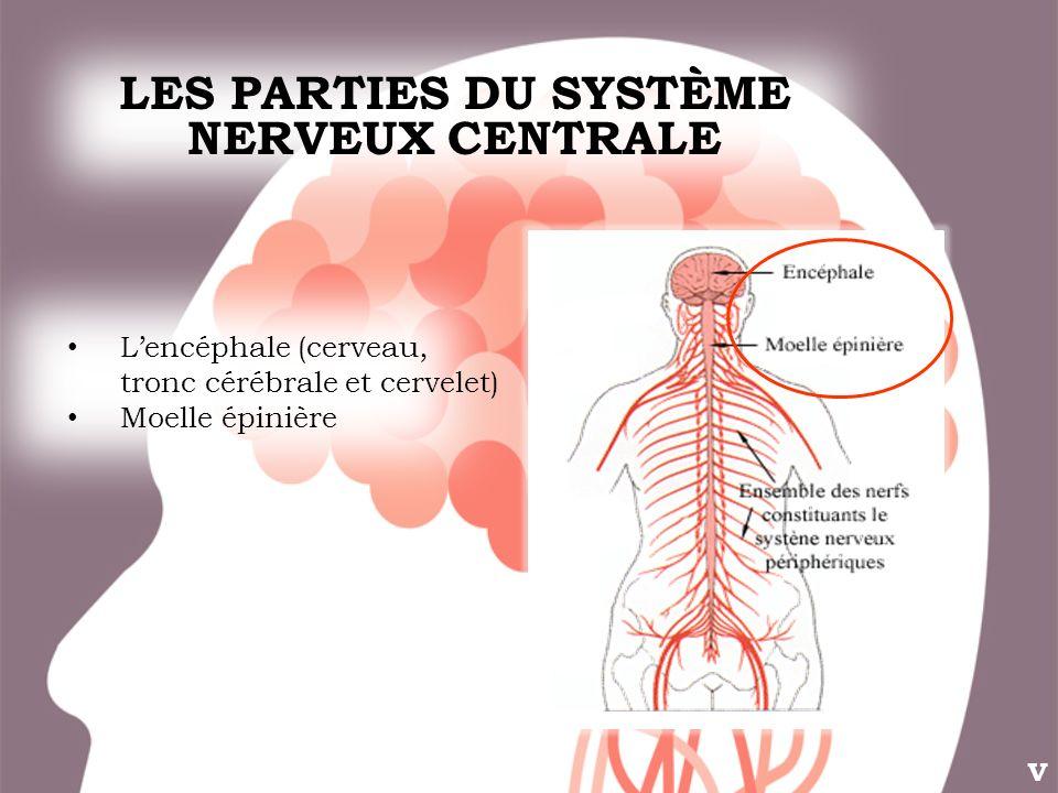 LES PARTIES DU SYSTÈME NERVEUX CENTRALE V Lencéphale (cerveau, tronc cérébrale et cervelet) Moelle épinière