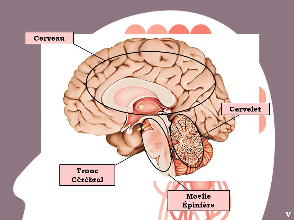V Cerveau Tronc Cérébral Cervelet Moelle Épinière