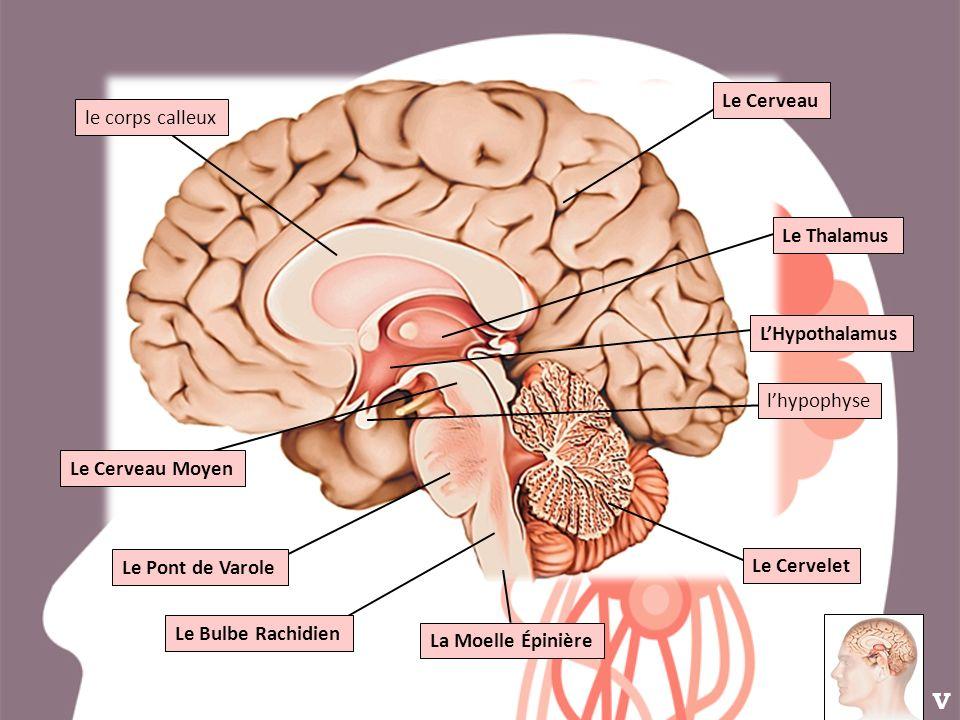 Le Thalamus LHypothalamus Le Cervelet Le Pont de Varole Le Bulbe Rachidien lhypophyse Le Cerveau Moyen Le Cerveau le corps calleux La Moelle Épinière