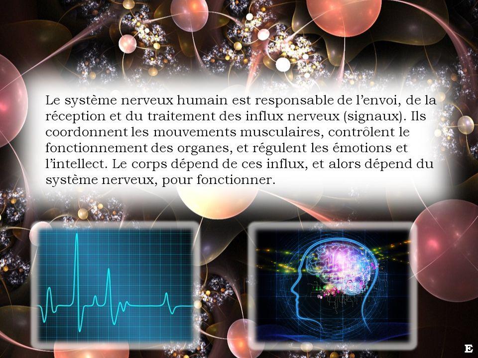 Le système nerveux humain est responsable de lenvoi, de la réception et du traitement des influx nerveux (signaux). Ils coordonnent les mouvements mus