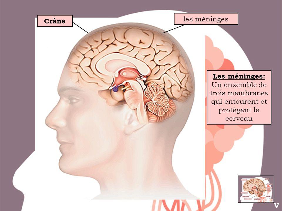 Crâne les méninges Les méninges: Un ensemble de trois membranes qui entourent et protègent le cerveau V