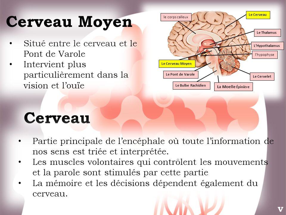 Situé entre le cerveau et le Pont de Varole Intervient plus particulièrement dans la vision et louïe Cerveau Partie principale de lencéphale où toute