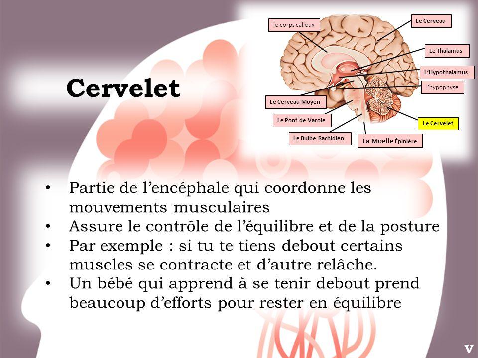 Cervelet Partie de lencéphale qui coordonne les mouvements musculaires Assure le contrôle de léquilibre et de la posture Par exemple : si tu te tiens