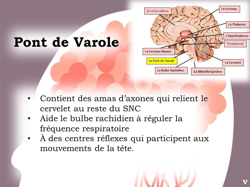 Pont de Varole Le Thalamus LHypothalamus Le Cervelet Le Pont de Varole Le Bulbe Rachidien lhypophyse Le Cerveau Moyen Le Cerveau le corps calleux La M
