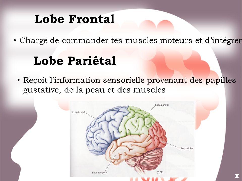 Chargé de commander tes muscles moteurs et dintégrer. Lobe Frontal Lobe Pariétal Reçoit linformation sensorielle provenant des papilles gustative, de