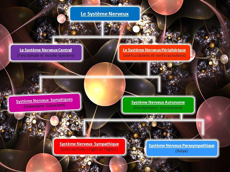 Le Système Nerveux Le Système Nerveux Central (lencéphale et moelle épinière) Le Système Nerveux Périphérique (nerfs crâniens et nerfs rachidiens) Sys