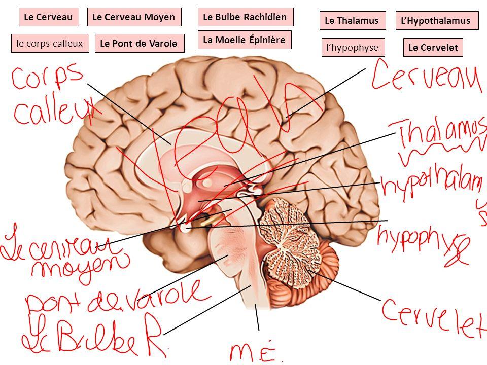 Le ThalamusLHypothalamus Le Cervelet Le Pont de Varole Le Bulbe Rachidien lhypophyse Le Cerveau MoyenLe Cerveau le corps calleux La Moelle Épinière