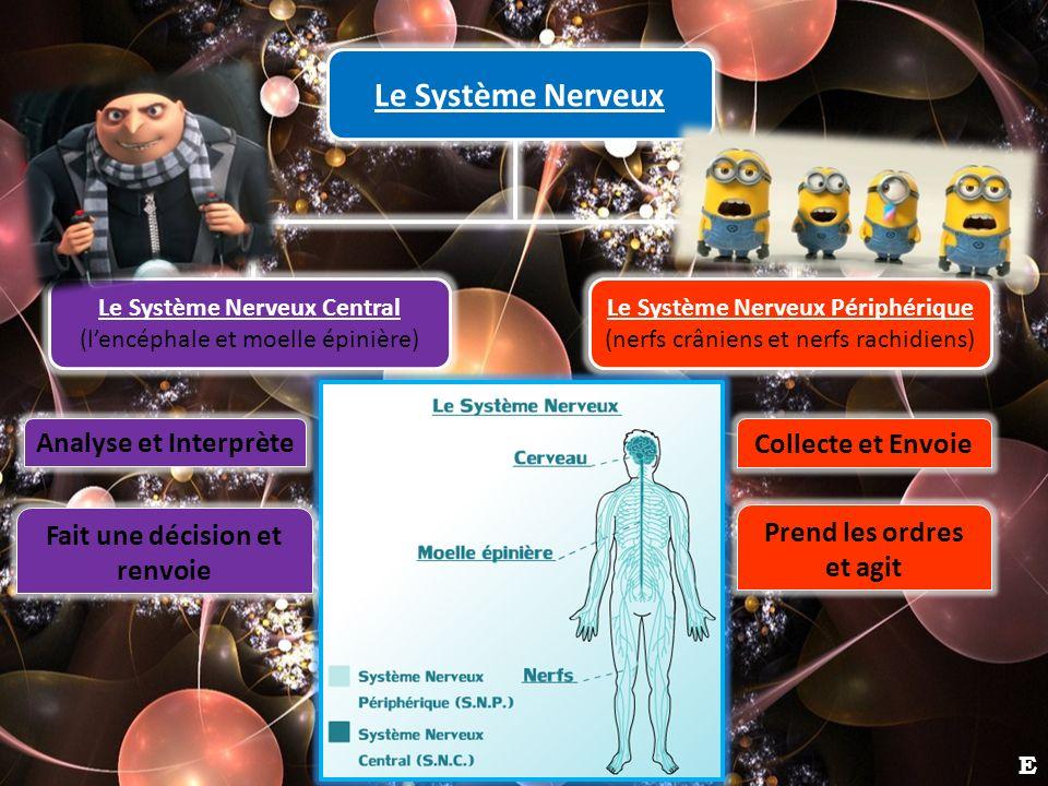 Le Système Nerveux Le Système Nerveux Périphérique (nerfs crâniens et nerfs rachidiens) Le Système Nerveux Central (lencéphale et moelle épinière) Ana