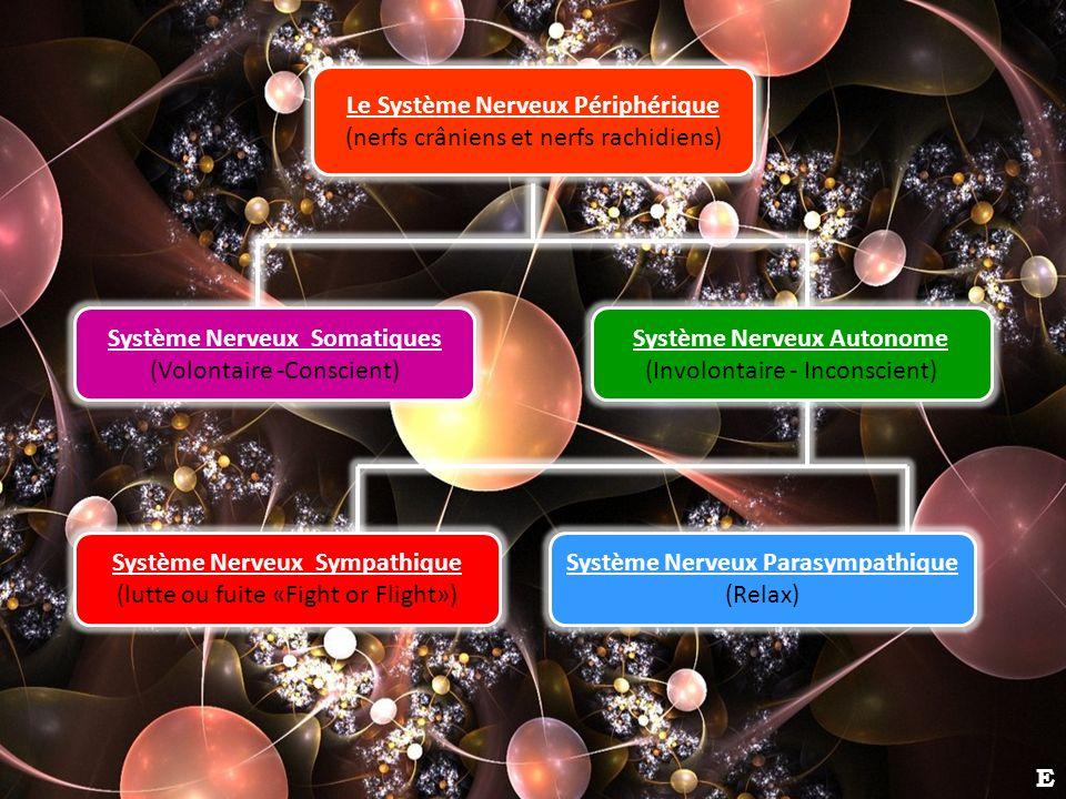 Le Système Nerveux Périphérique (nerfs crâniens et nerfs rachidiens) Système Nerveux Autonome (Involontaire - Inconscient) Système Nerveux Parasympath