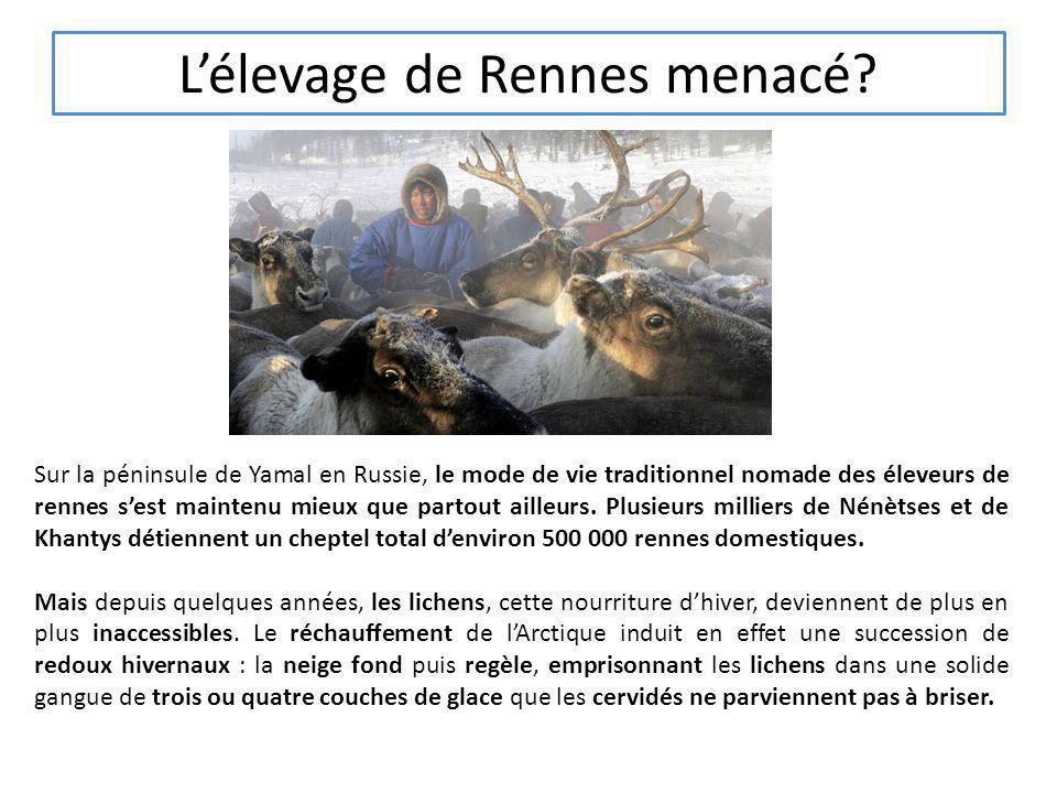 Lélevage de Rennes menacé? Sur la péninsule de Yamal en Russie, le mode de vie traditionnel nomade des éleveurs de rennes sest maintenu mieux que part