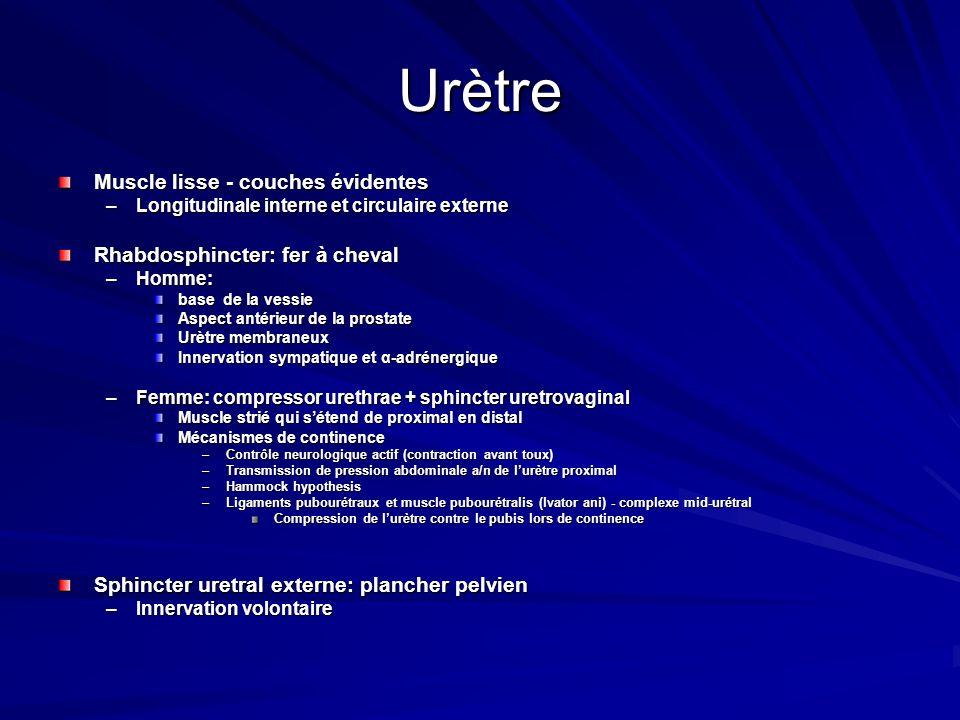 Urètre Muscle lisse - couches évidentes –Longitudinale interne et circulaire externe Rhabdosphincter: fer à cheval –Homme: base de la vessie Aspect an