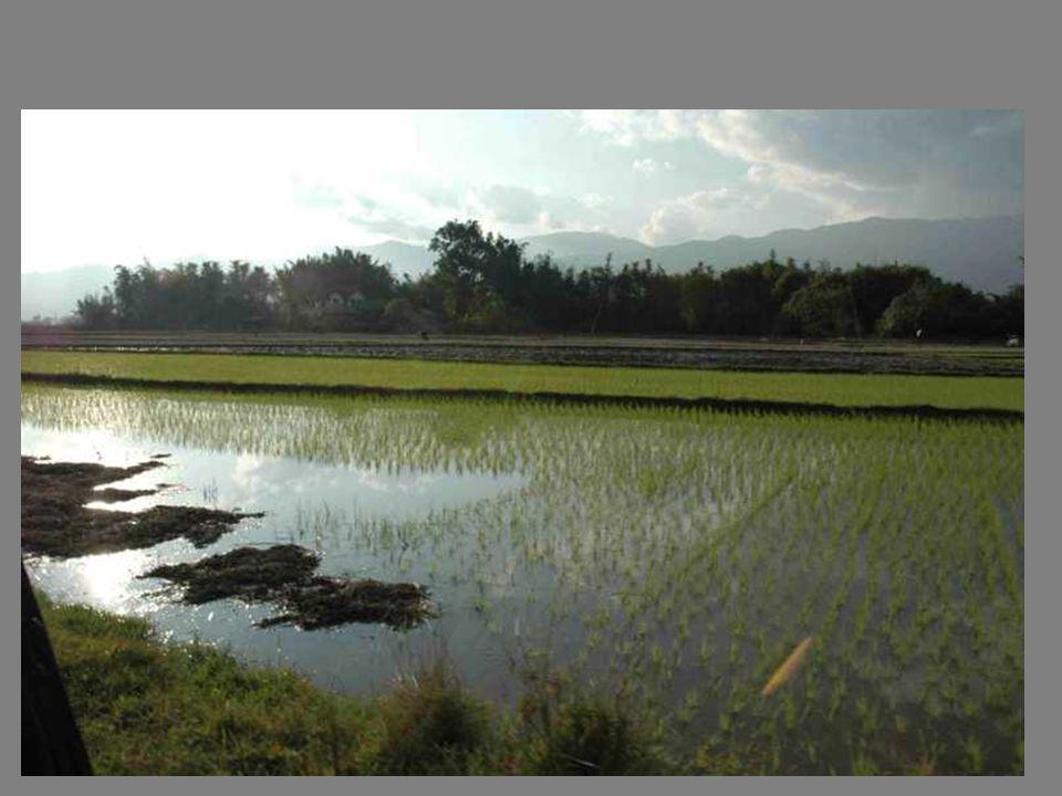 Les rizières dans la plaine
