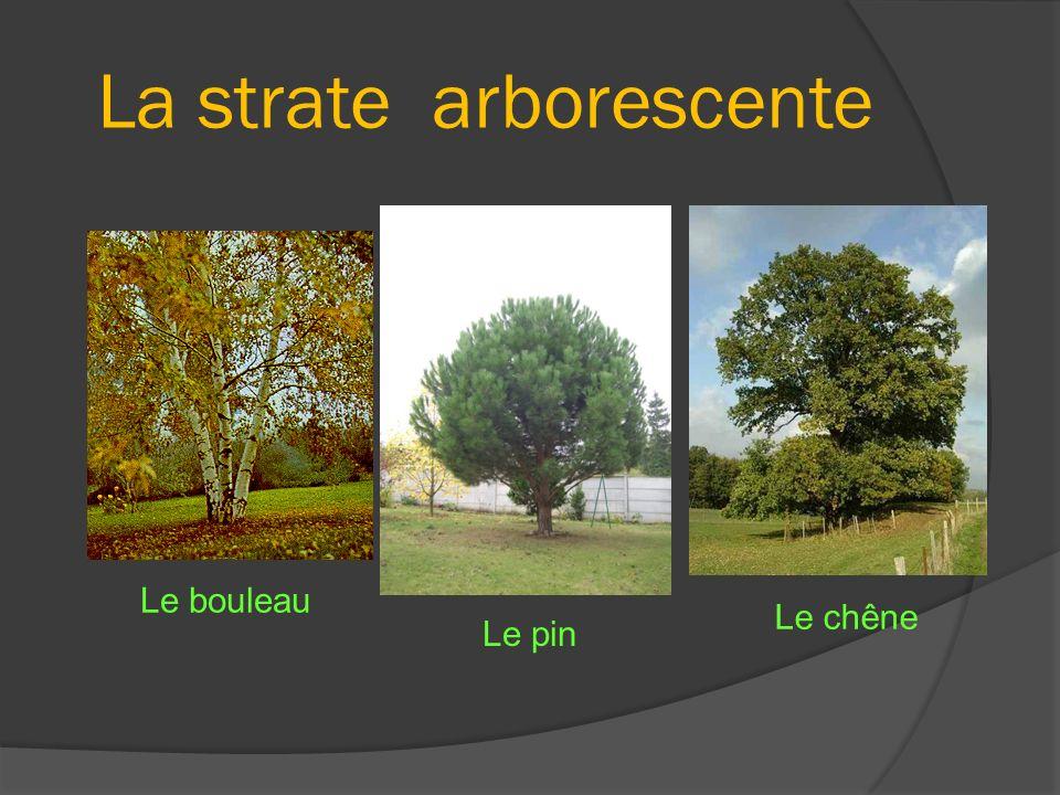 La strate arborescente Le bouleau Le chêne Le pin