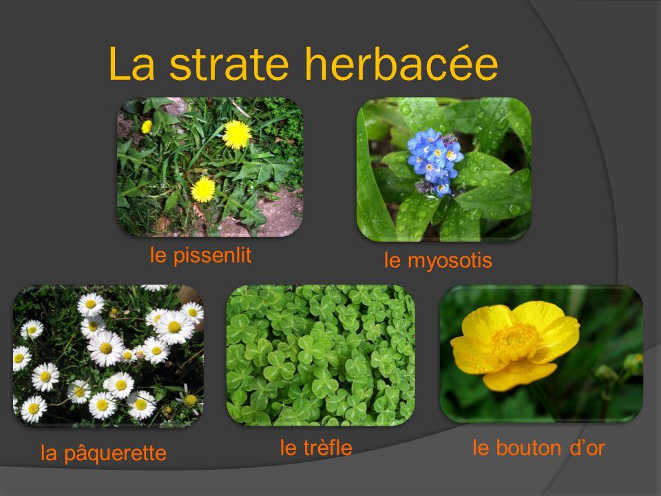 La strate herbacée le pissenlit la pâquerette le trèflele bouton dor le myosotis