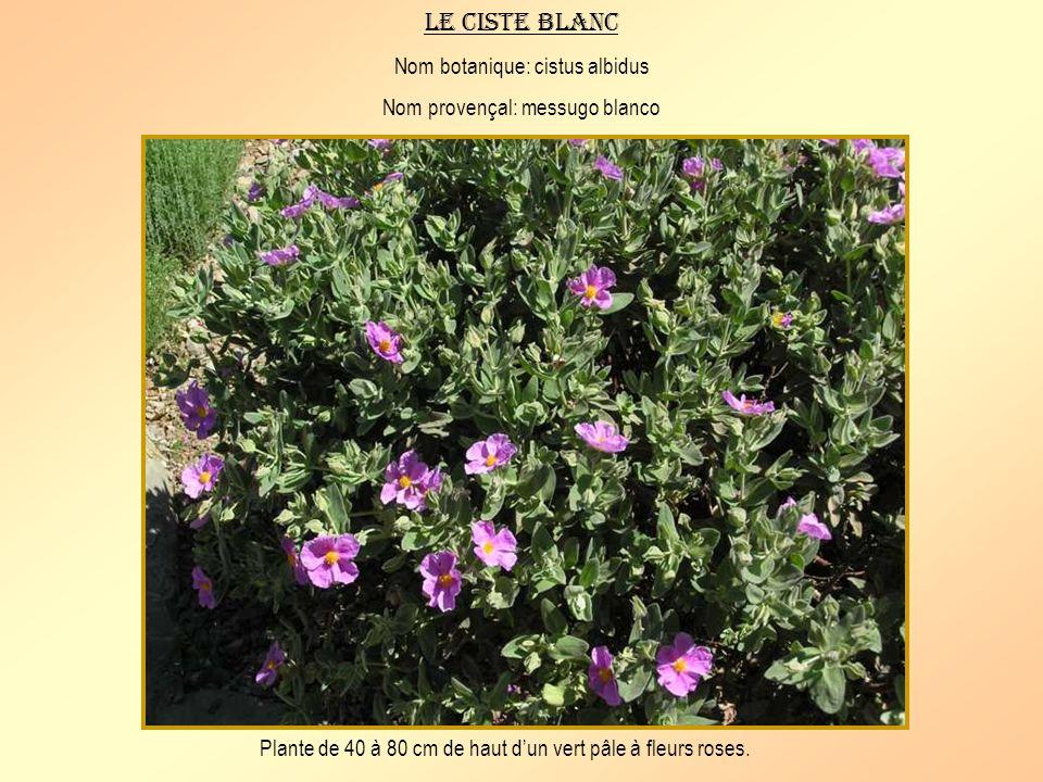 Le vinaigrier Nom botanique: rhus coriaria Nom provençal: fauvi Arbrisseau de 1 à 3 mètres de haut à suc laiteux vénéneux.