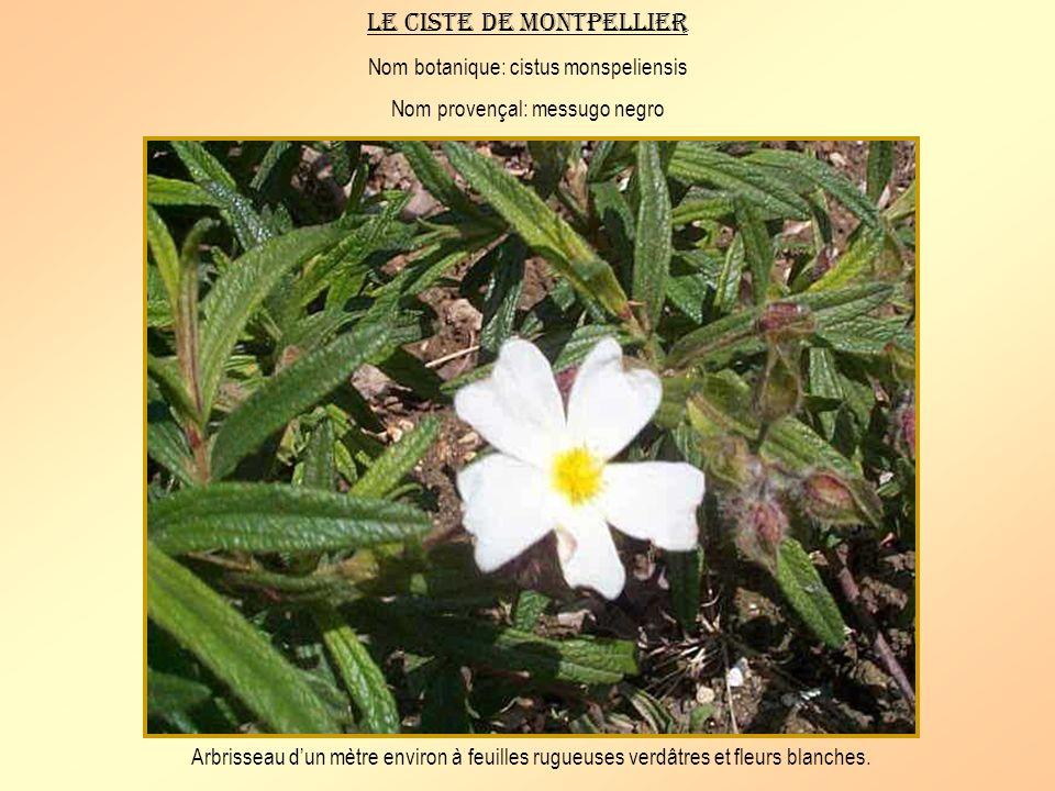 Le ciste blanc Nom botanique: cistus albidus Nom provençal: messugo blanco Plante de 40 à 80 cm de haut dun vert pâle à fleurs roses.
