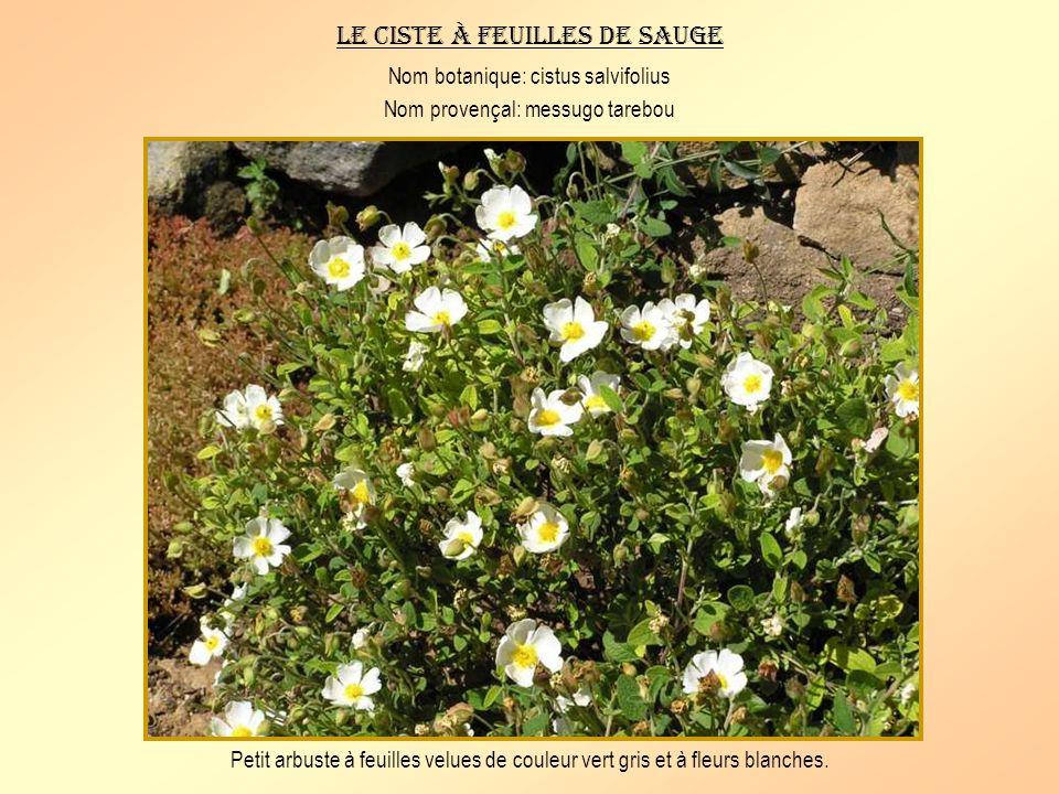 Le ciste de Montpellier Nom botanique: cistus monspeliensis Nom provençal: messugo negro Arbrisseau dun mètre environ à feuilles rugueuses verdâtres e