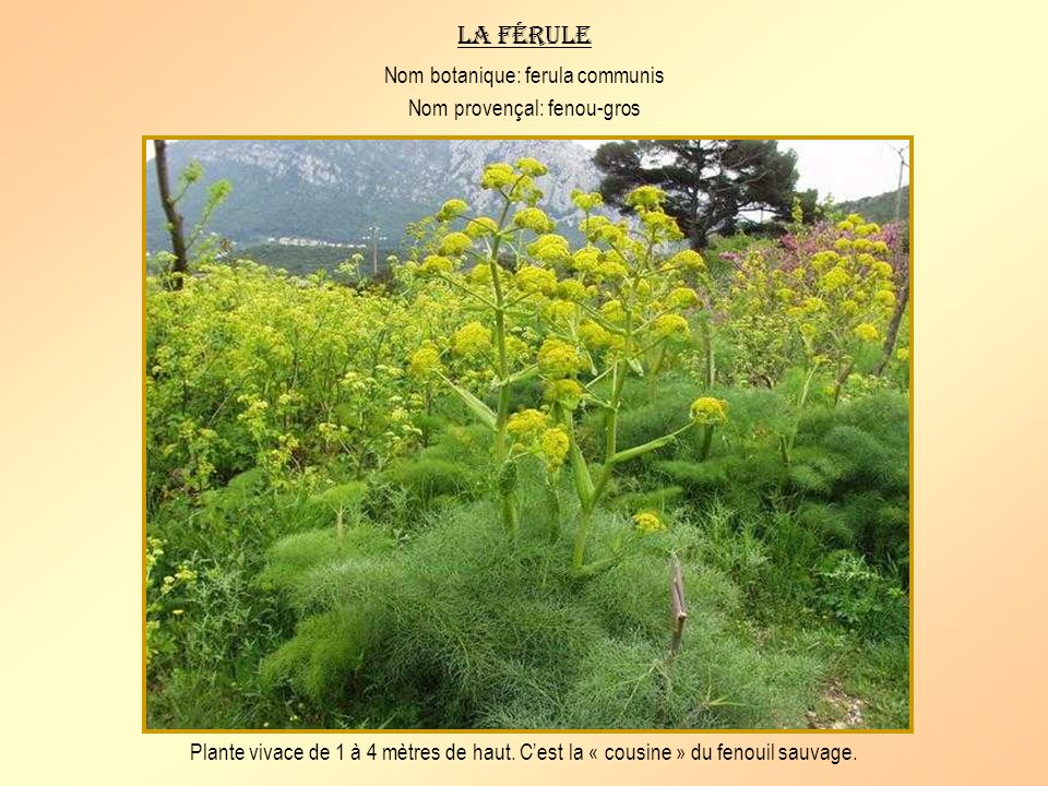 Le ciste à feuilles de sauge Nom botanique: cistus salvifolius Nom provençal: messugo tarebou Petit arbuste à feuilles velues de couleur vert gris et