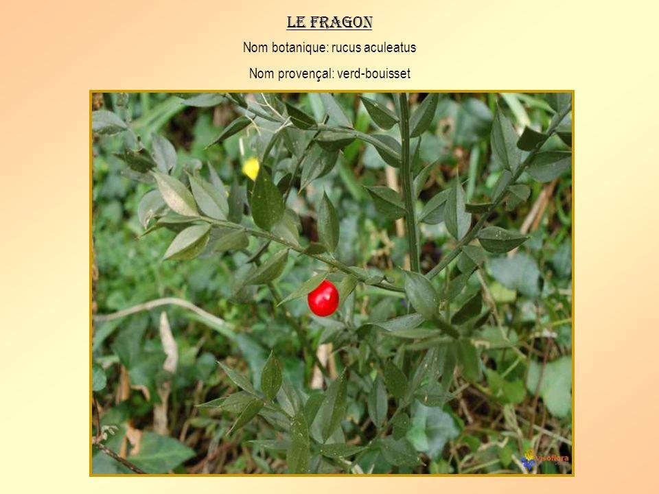 La férule Nom botanique: ferula communis Nom provençal: fenou-gros Plante vivace de 1 à 4 mètres de haut. Cest la « cousine » du fenouil sauvage.