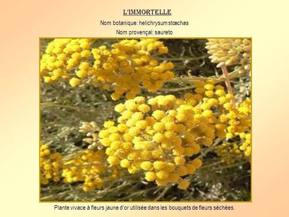 Un arbrisseau vivace de 30 à 80 cm aux rameaux toujours vert foncé. Ses fruits rouge vif sont toxiques. On lutilise pour la décoration de la crèche pr