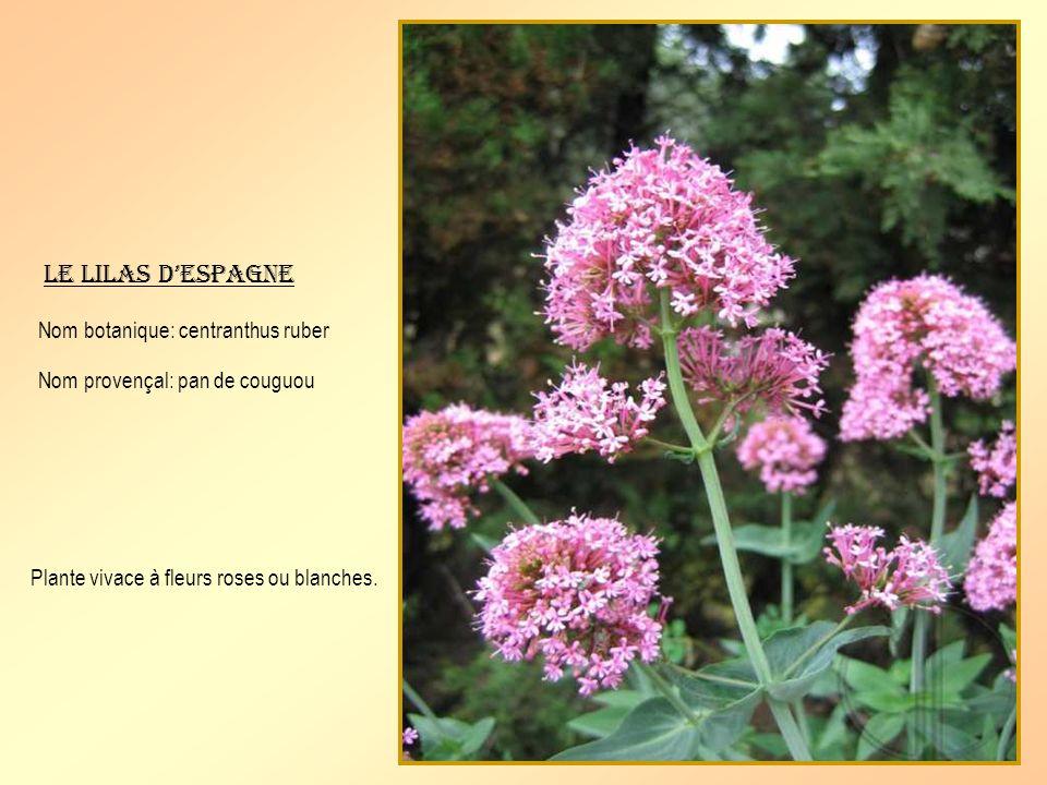 Limmortelle Nom botanique: helichrysum stœchas Nom provençal: saureto Plante vivace à fleurs jaune dor utilisée dans les bouquets de fleurs séchées.