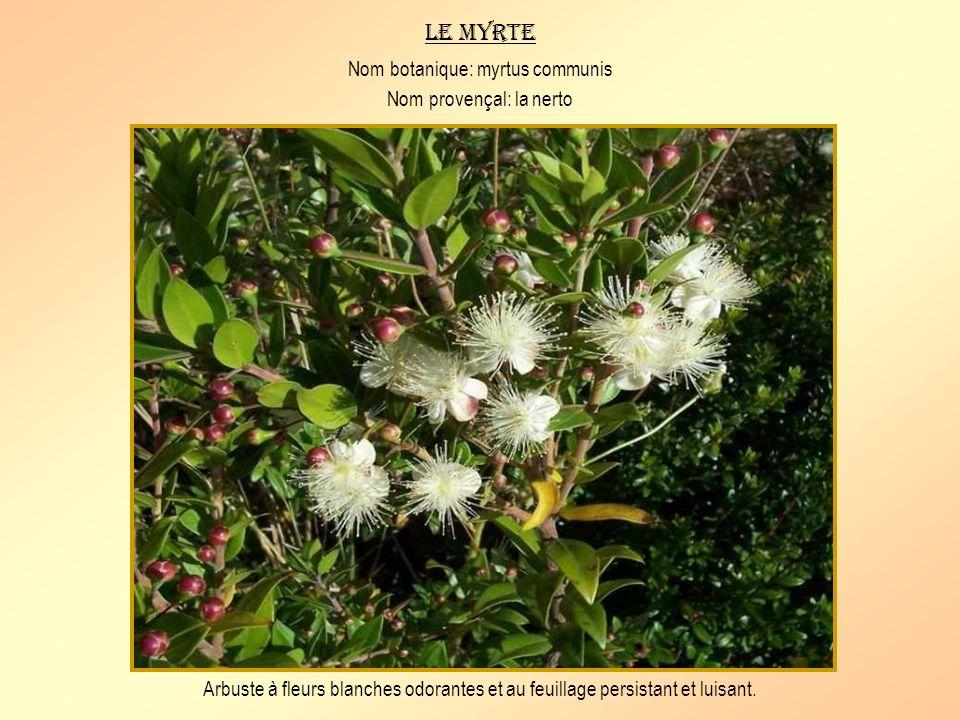 Le lilas dEspagne Nom botanique: centranthus ruber Nom provençal: pan de couguou Plante vivace à fleurs roses ou blanches.