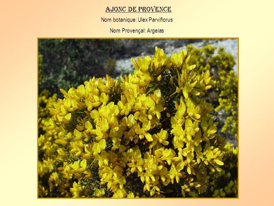 Ajonc de provence Nom botanique: Ulex Parviflorus Nom Provençal: Argelas