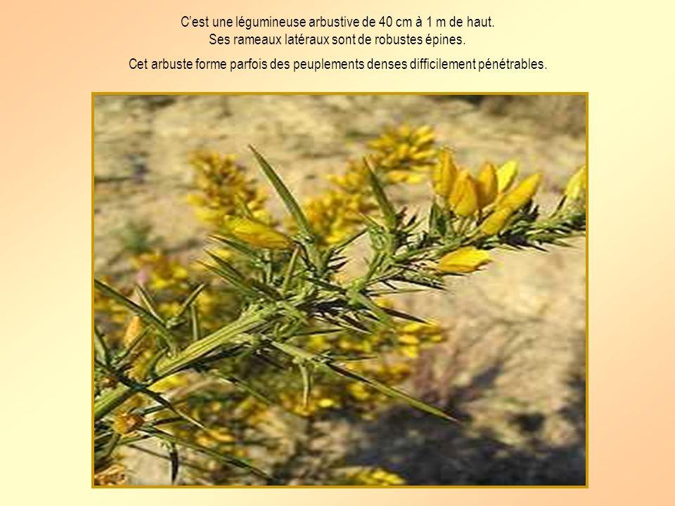 Le ciste à feuilles de sauge Nom botanique: cistus salvifolius Nom provençal: messugo tarebou Petit arbuste à feuilles velues de couleur vert gris et à fleurs blanches.