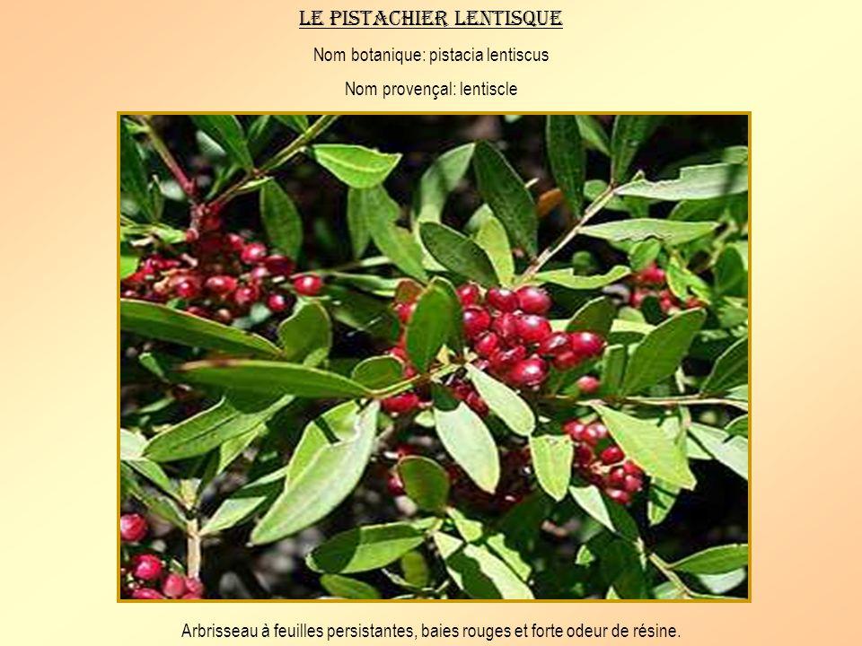 Le pistachier lentisque Nom botanique: pistacia lentiscus Nom provençal: lentiscle Arbrisseau à feuilles persistantes, baies rouges et forte odeur de résine.