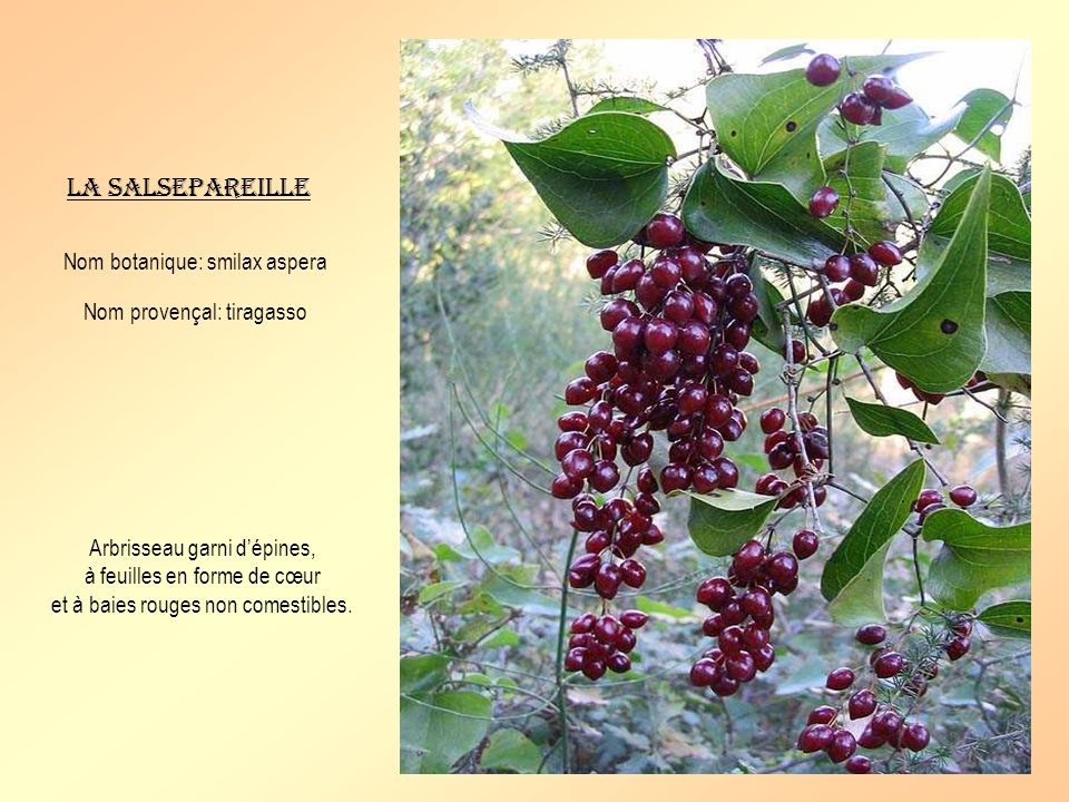 La salsepareille Nom botanique: smilax aspera Nom provençal: tiragasso Arbrisseau garni dépines, à feuilles en forme de cœur et à baies rouges non comestibles.