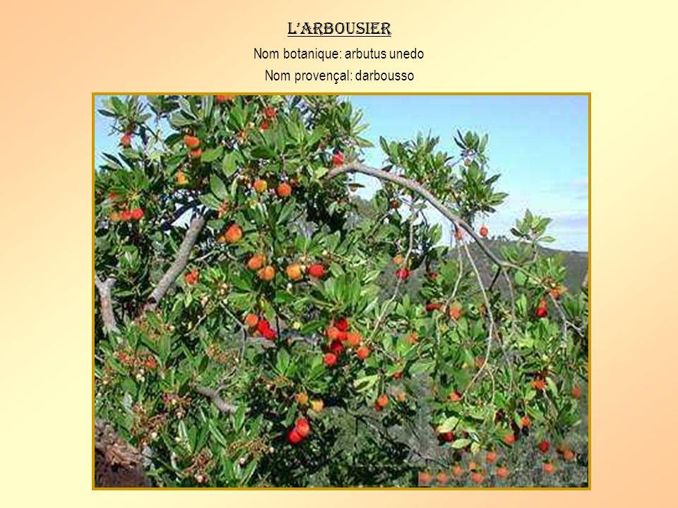 La salsepareille Nom botanique: smilax aspera Nom provençal: tiragasso Arbrisseau garni dépines, à feuilles en forme de cœur et à baies rouges non com