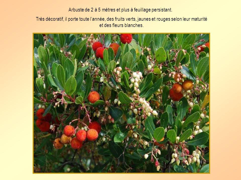 Larbousier Nom botanique: arbutus unedo Nom provençal: darbousso