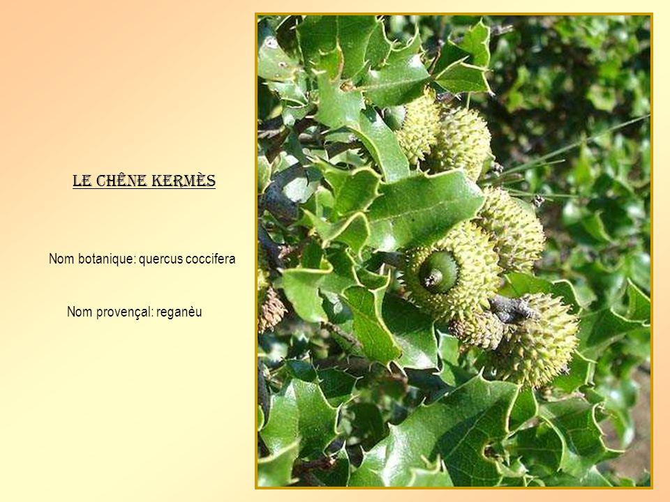 Arbuste de 2 à 5 mètres et plus à feuillage persistant. Très décoratif, il porte toute lannée, des fruits verts, jaunes et rouges selon leur maturité