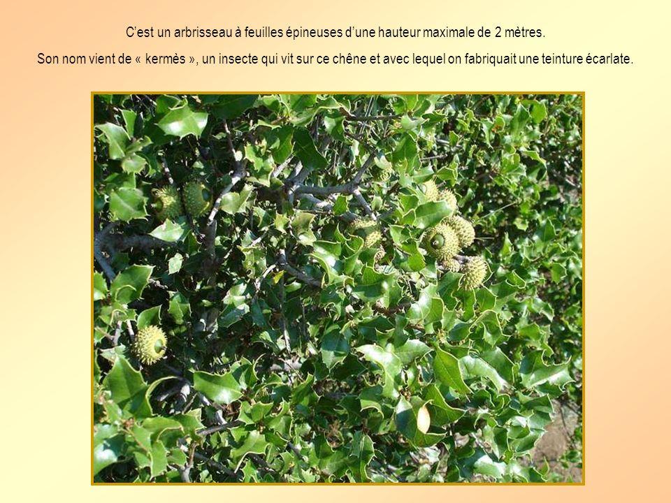 Cest un arbrisseau à feuilles épineuses dune hauteur maximale de 2 mètres.