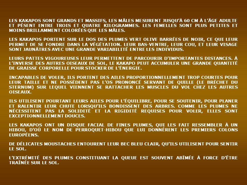 LES KAKAPOS SONT GRANDS ET MASSIFS, LES MÂLES MESURENT JUSQUÀ 60 CM À LÂGE ADULTE ET PÈSENT ENTRE TROIS ET QUATRE KILOGRAMMES. LES FEMELLES SONT PLUS