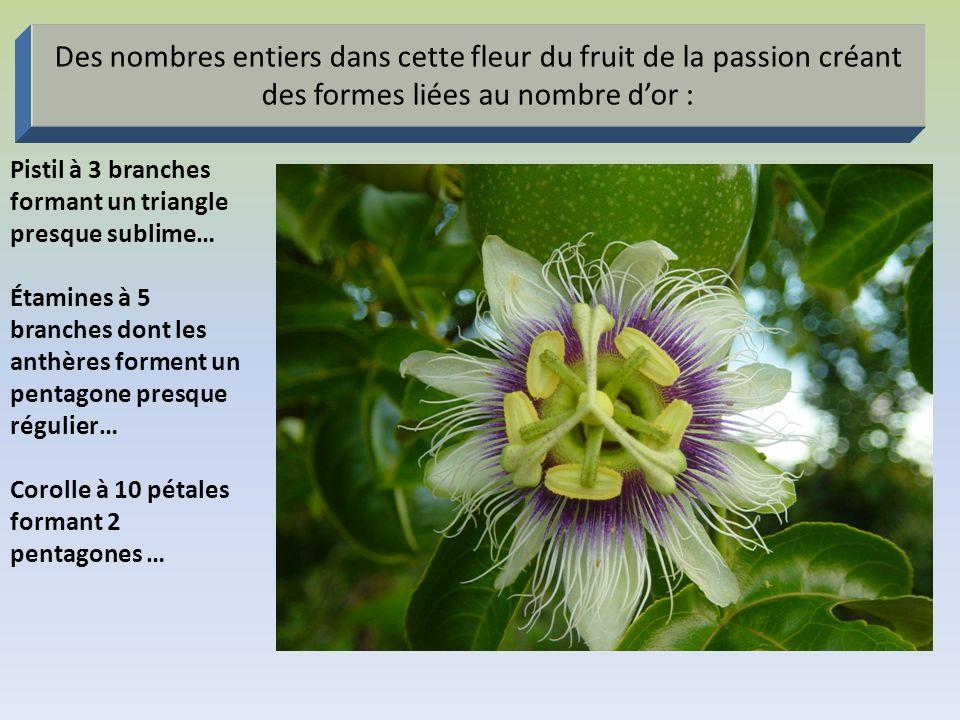 Des nombres entiers dans cette fleur du fruit de la passion créant des formes liées au nombre dor : Pistil à 3 branches formant un triangle presque su