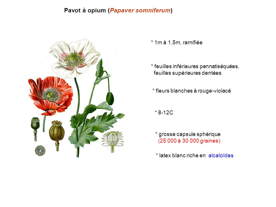 Pavot à opium (Papaver somniferum) * 1m à 1,5m, ramifiée * feuilles inférieures pennatiséquées, feuilles supérieures dentées * fleurs blanches à rouge-violacé * 8-12C * grosse capsule sphérique (25 000 à 30 000 graines) * latex blanc riche en alcaloïdes