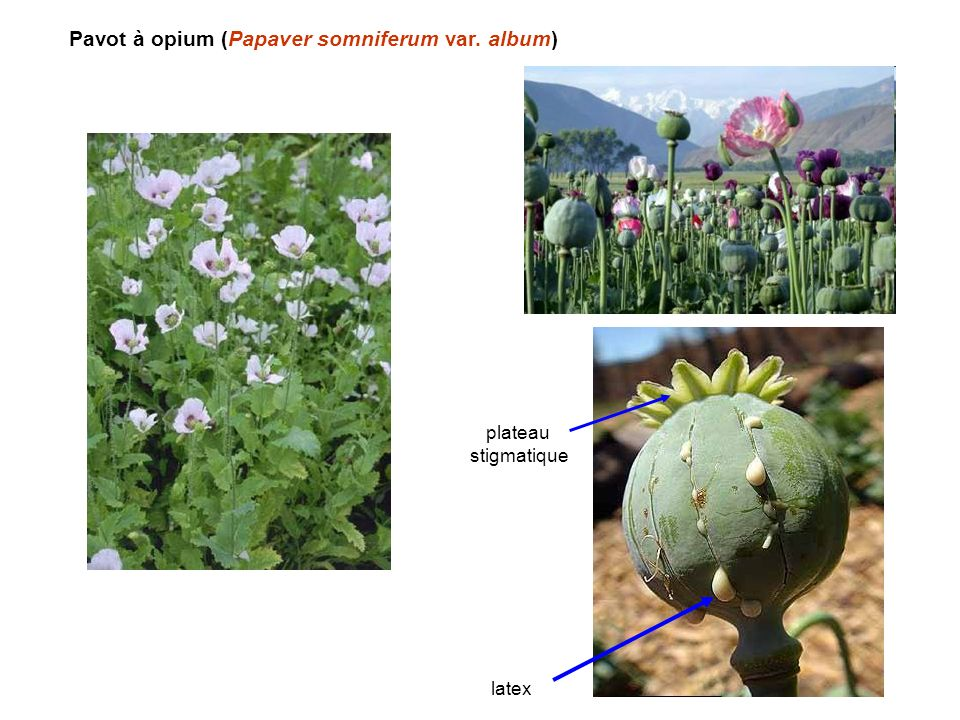 Pavot à opium (Papaver somniferum var. album) latex plateau stigmatique
