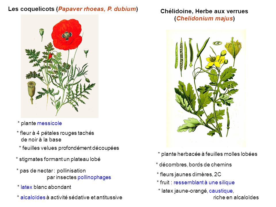 Les coquelicots (Papaver rhoeas, P. dubium) * stigmates formant un plateau lobé * pas de nectar : pollinisation par insectes pollinophages * latex bla