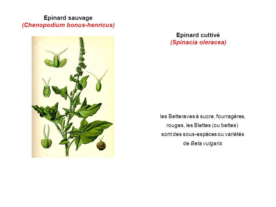 Epinard sauvage (Chenopodium bonus-henricus) Epinard cultivé (Spinacia oleracea) les Betteraves à sucre, fourragères, rouges, les Blettes (ou bettes) sont des sous-espèces ou variétés de Beta vulgaris