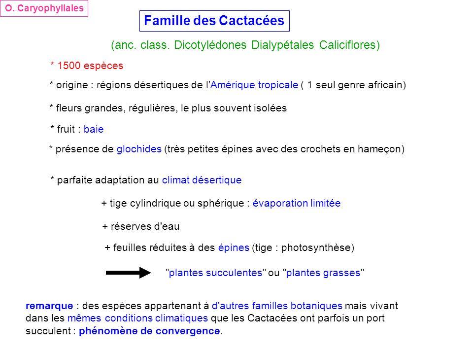 Famille des Cactacées (anc. class. Dicotylédones Dialypétales Caliciflores) O. Caryophyllales * 1500 espèces * origine : régions désertiques de l'Amér