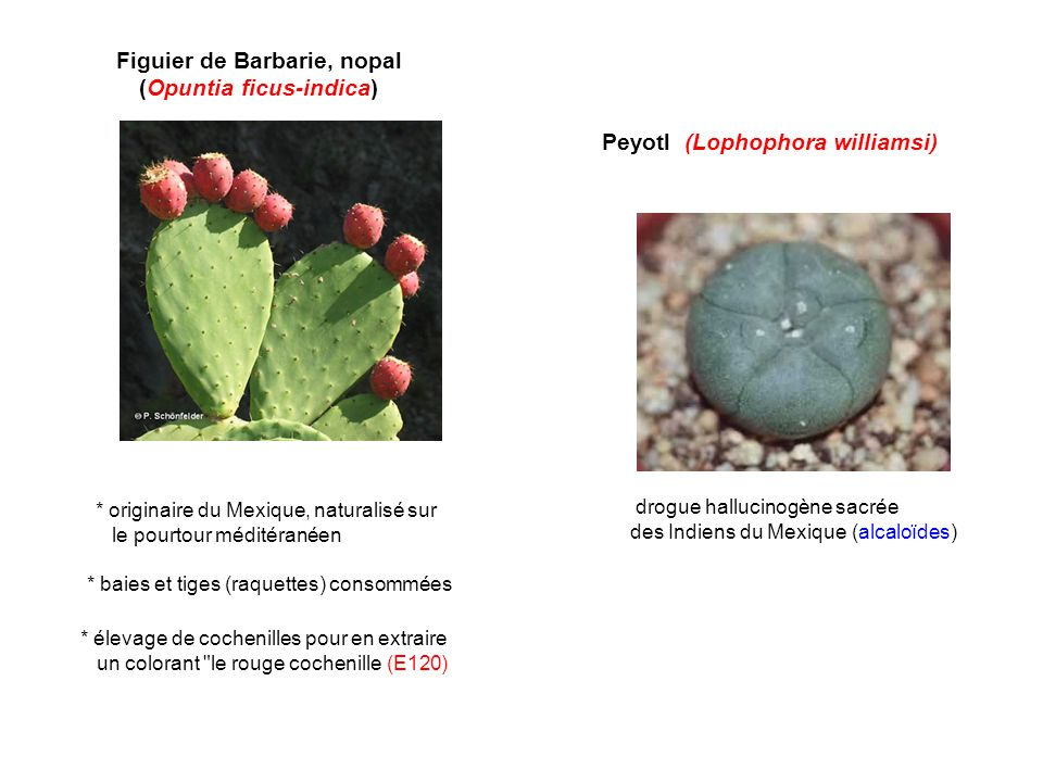 Peyotl (Lophophora williamsi) drogue hallucinogène sacrée des Indiens du Mexique (alcaloïdes) Figuier de Barbarie, nopal (Opuntia ficus-indica) * baie
